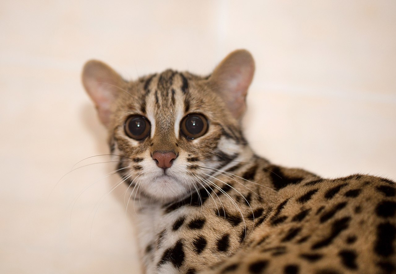 Размеры и вес бенгальских кошек – примерный размер бенгалов | 884x1280